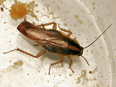 cucarachadecocina